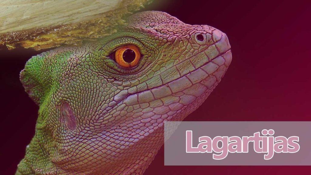 iguanas lagartos