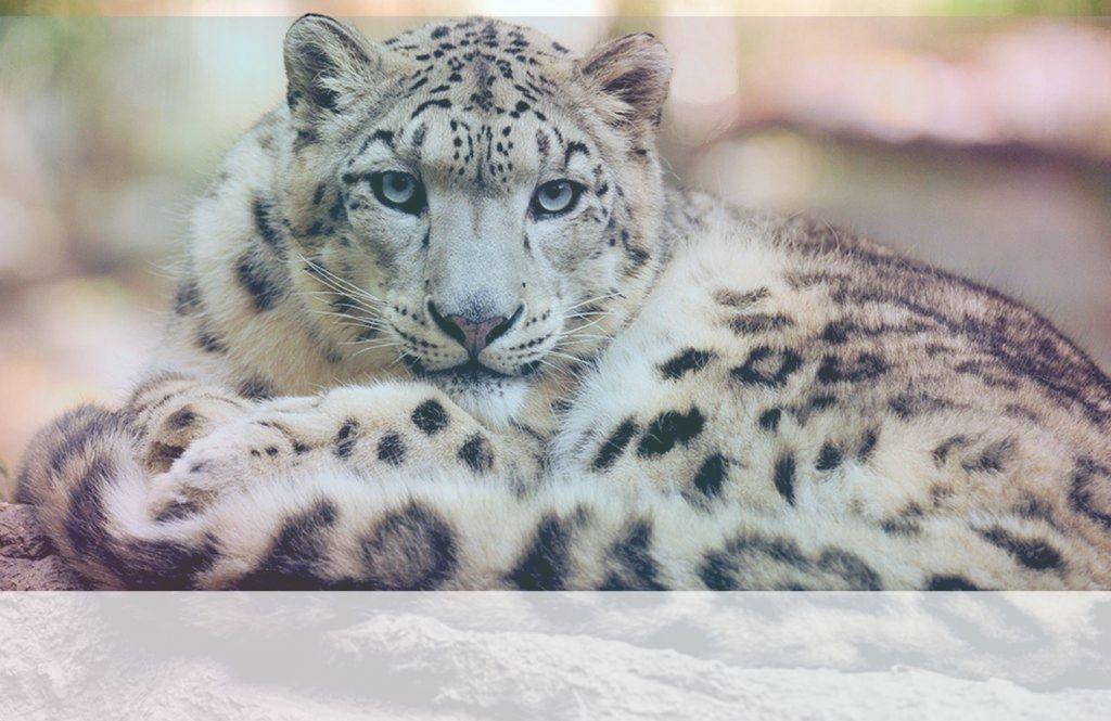 Simbolismo del Espíritu Animal de Leopardo
