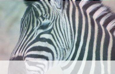 simbolismo del espiritu animal de cebra