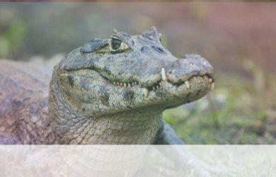 simbolismo del espiritu animal de cocodrilo