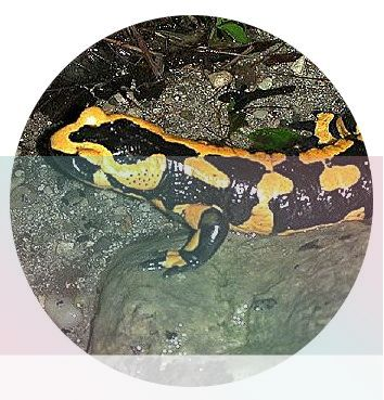 simbolismo del espiritu animal de la salamandra