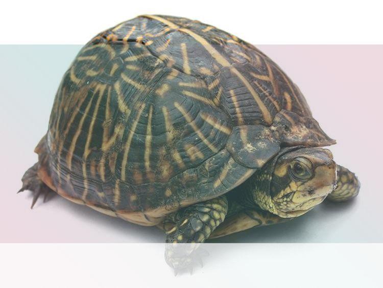 Símbolo del Tótem de la Tortuga Animal