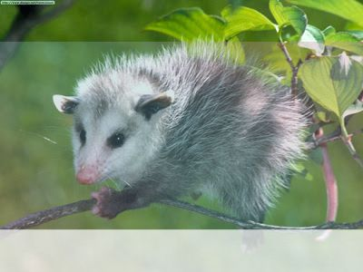 simbolismo del espiritu animal de la zarigueya