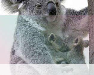 simbolismo del espiritu animal del oso koala
