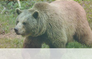 simbolismo del espiritu animal del oso polar
