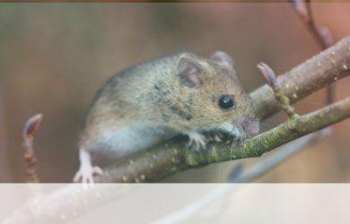 simbolismo del espiritu animal del raton
