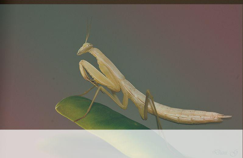 simbolismo del espiritu animal mantis en oracion