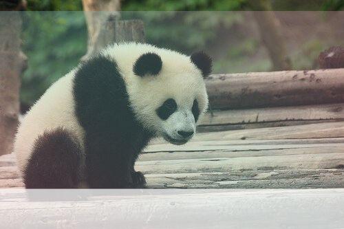 Simbolismo del Espíritu Animal Panda