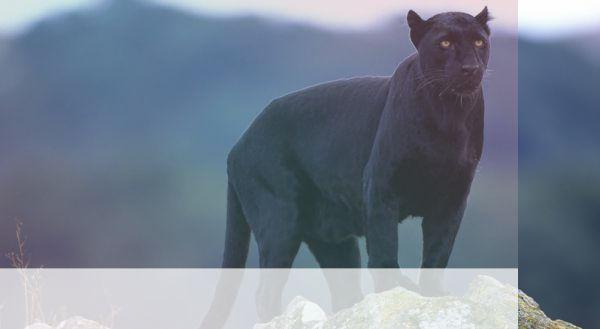 simbolismo del espiritu animal puma