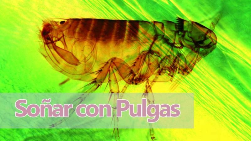 Qué significa Soñar con pulgas